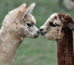 Apron - Kissing Alpacas