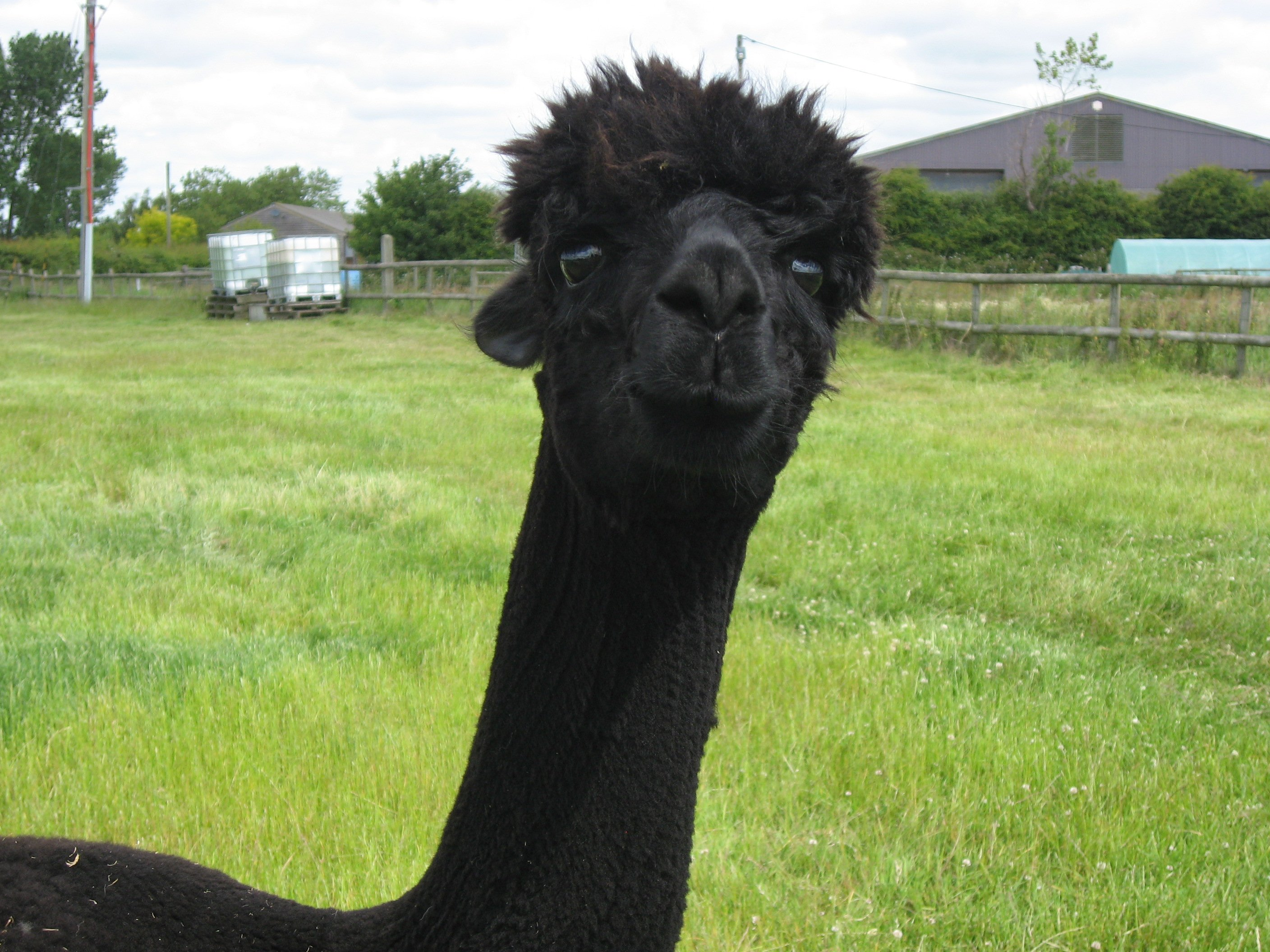 908068c6e4c Adopt Jeremy Fisher - Alpaca Annie, a fidget, does not like to stand ...