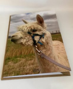 Alpaca greeting cards Billy